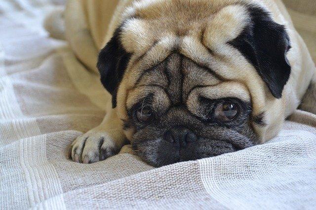 smutný mopsík